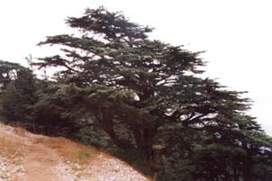 يللا نكمل جولتنا بلبنان بلد الجمال Lebanon_nature_cedar1